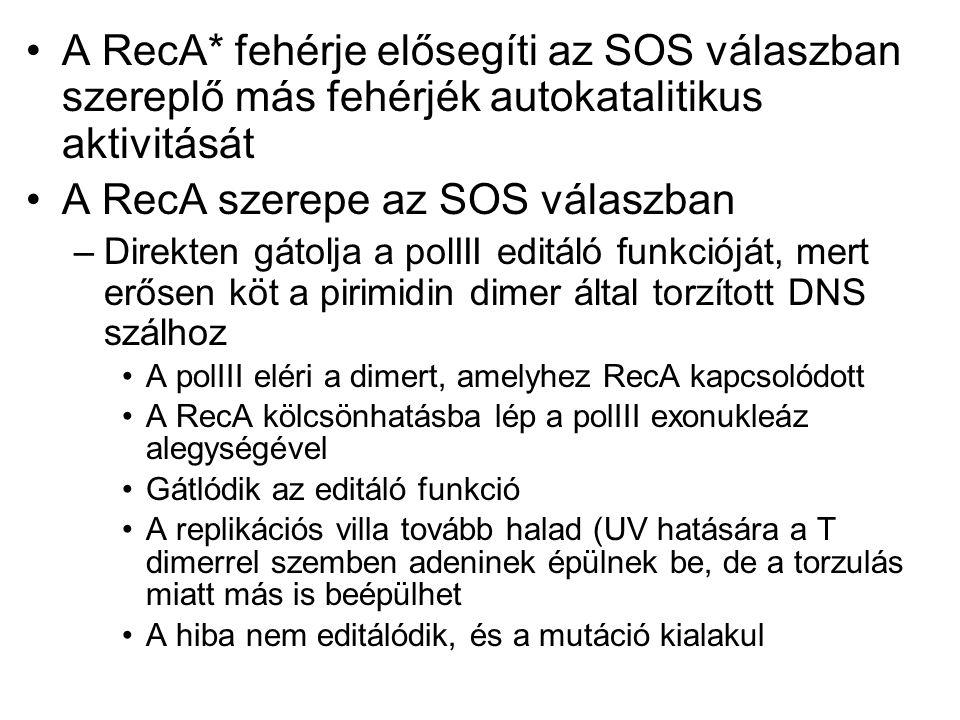 A RecA szerepe az SOS válaszban