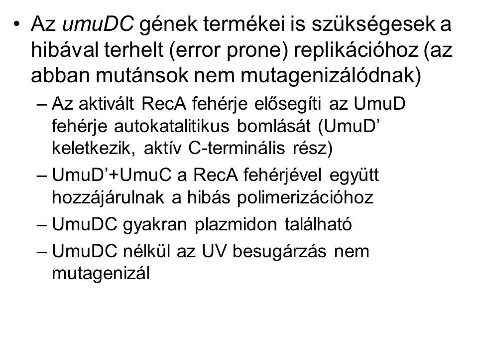 Az umuDC gének termékei is szükségesek a hibával terhelt (error prone) replikációhoz (az abban mutánsok nem mutagenizálódnak)