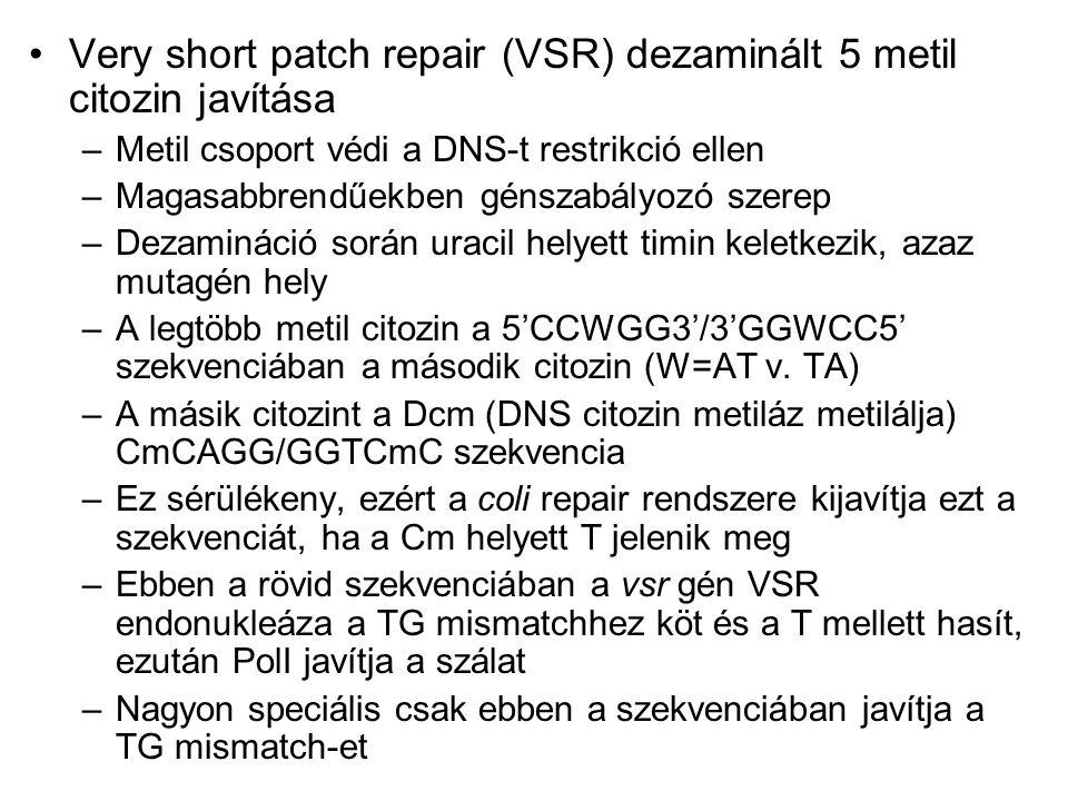 Very short patch repair (VSR) dezaminált 5 metil citozin javítása
