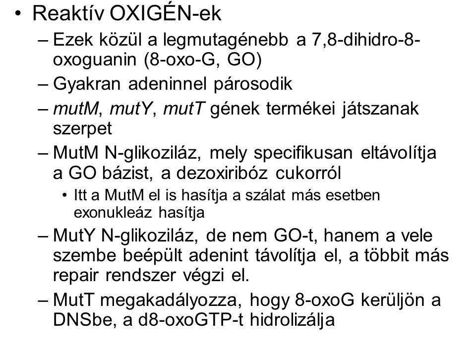 Reaktív OXIGÉN-ek Ezek közül a legmutagénebb a 7,8-dihidro-8-oxoguanin (8-oxo-G, GO) Gyakran adeninnel párosodik.