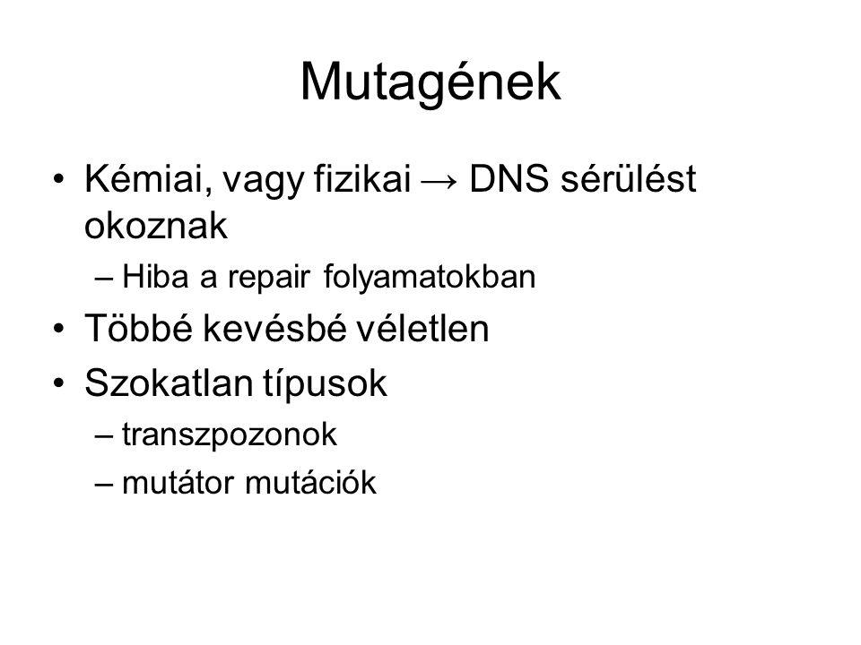 Mutagének Kémiai, vagy fizikai → DNS sérülést okoznak