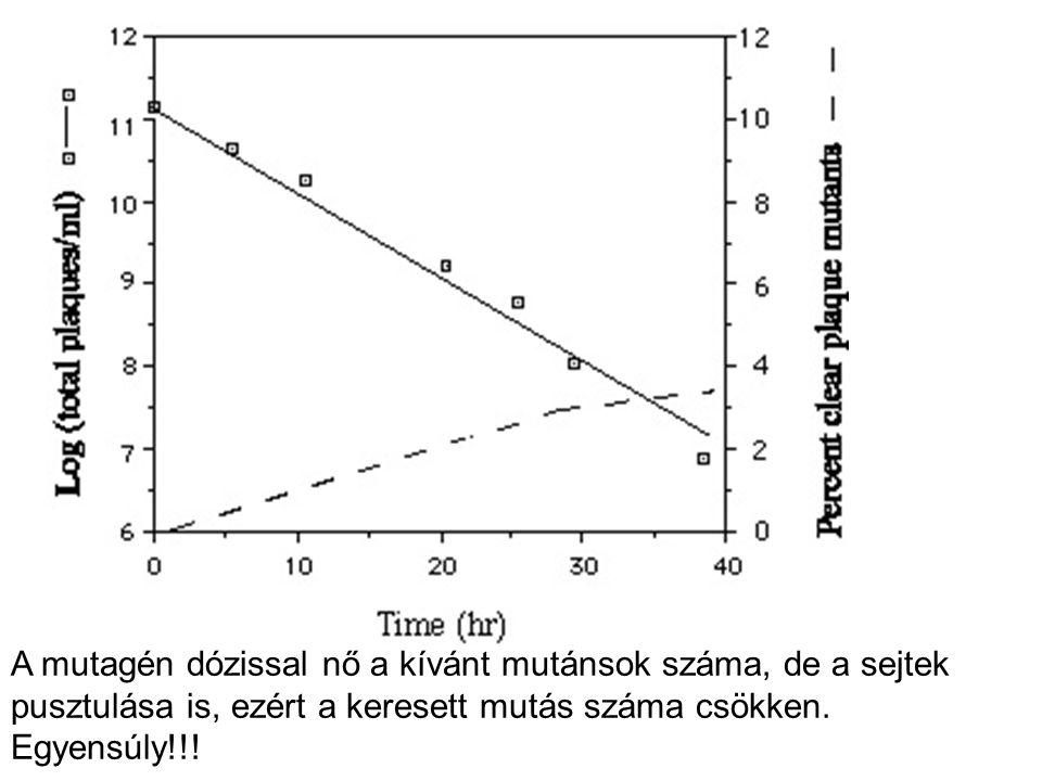 A mutagén dózissal nő a kívánt mutánsok száma, de a sejtek pusztulása is, ezért a keresett mutás száma csökken.