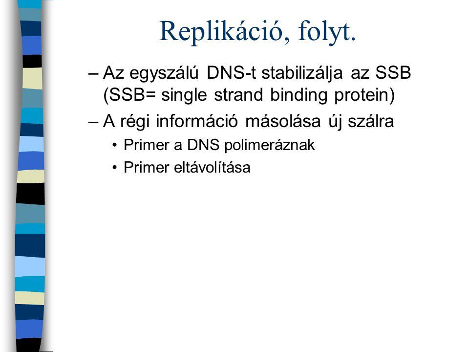 Replikáció, folyt. Az egyszálú DNS-t stabilizálja az SSB (SSB= single strand binding protein) A régi információ másolása új szálra.