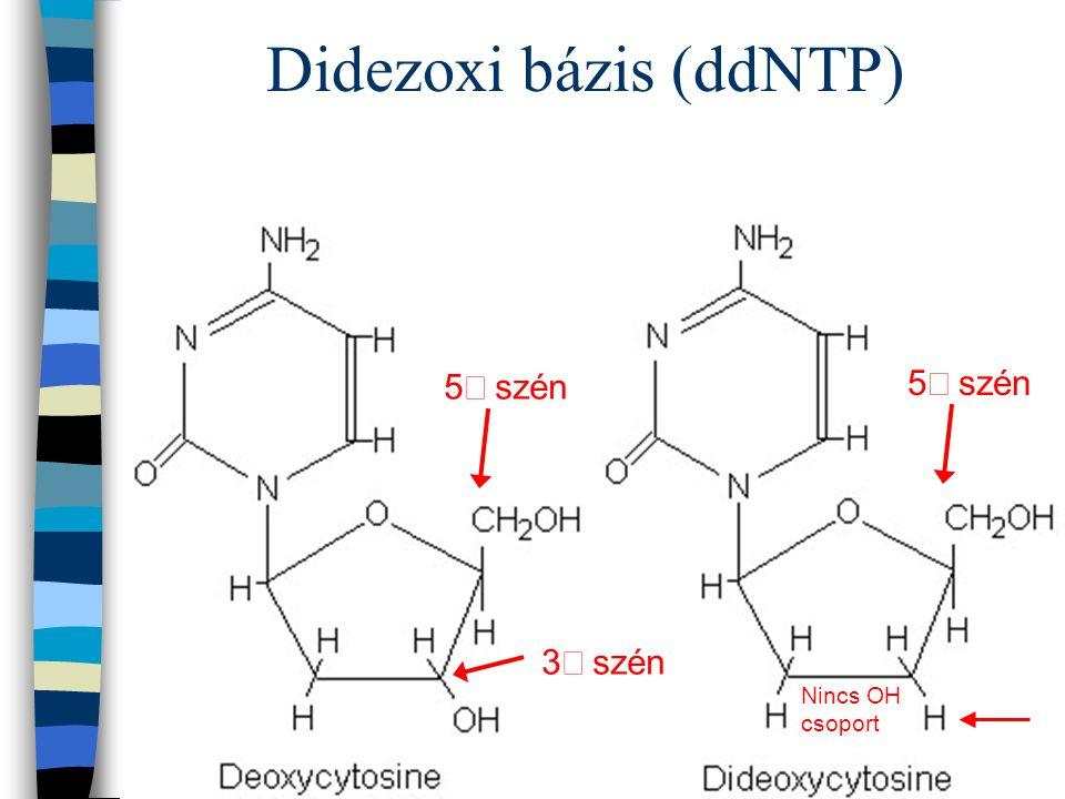 Didezoxi bázis (ddNTP)