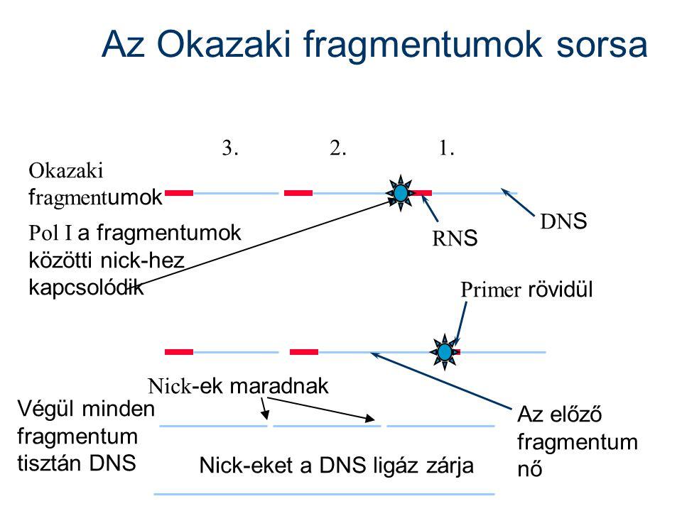 Az Okazaki fragmentumok sorsa