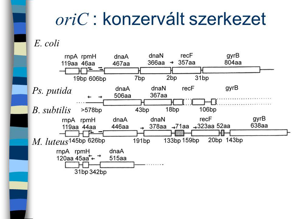 oriC : konzervált szerkezet