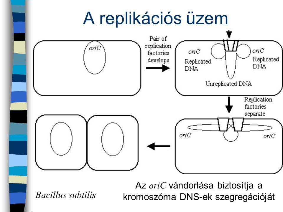 A replikációs üzem Az oriC vándorlása biztosítja a