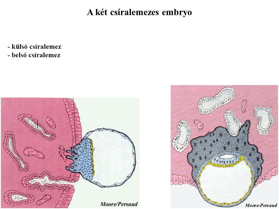 A két csíralemezes embryo