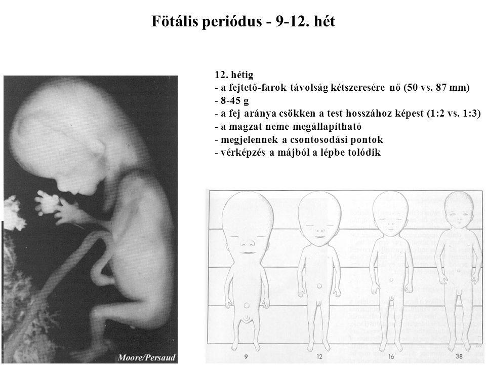 Fötális periódus - 9-12. hét