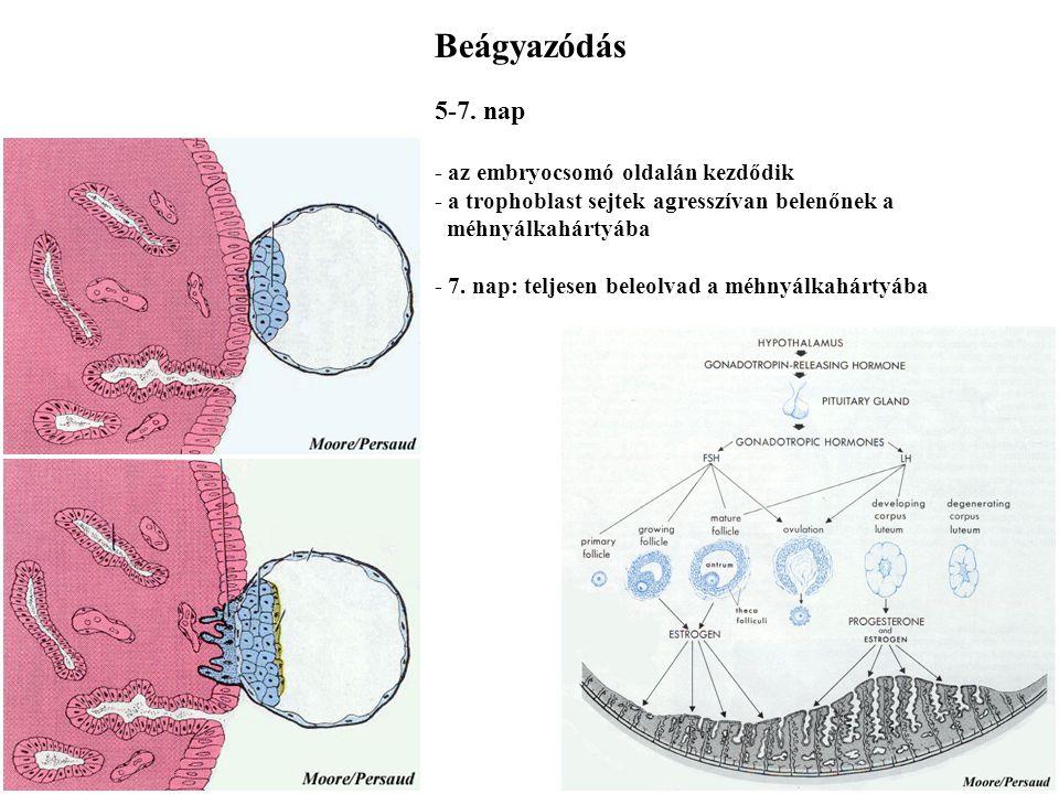 Beágyazódás 5-7. nap - az embryocsomó oldalán kezdődik