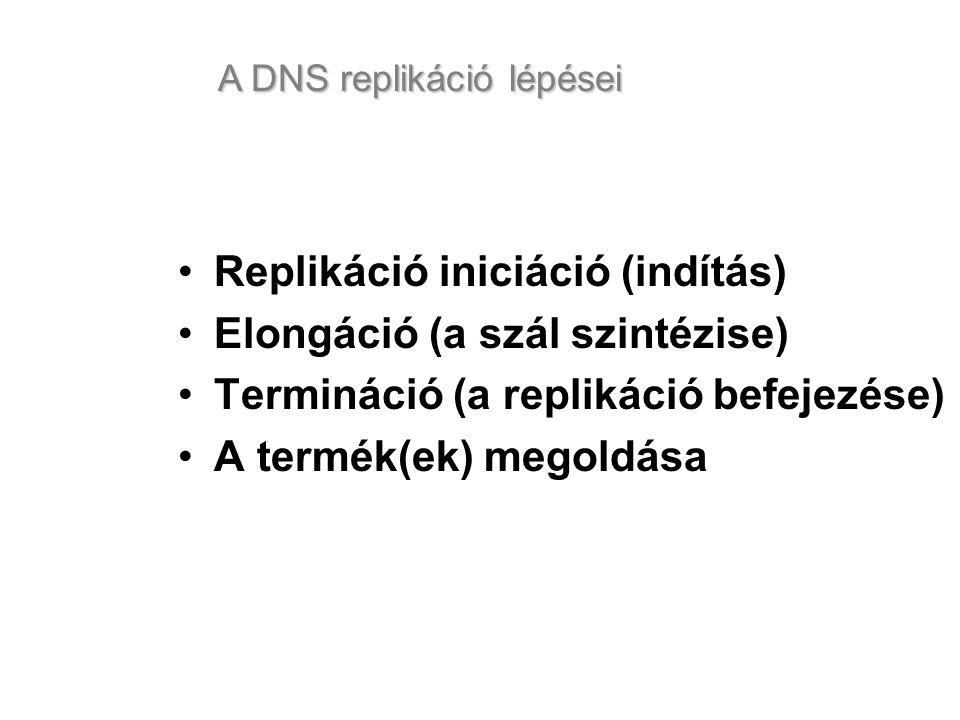 Replikáció iniciáció (indítás) Elongáció (a szál szintézise)