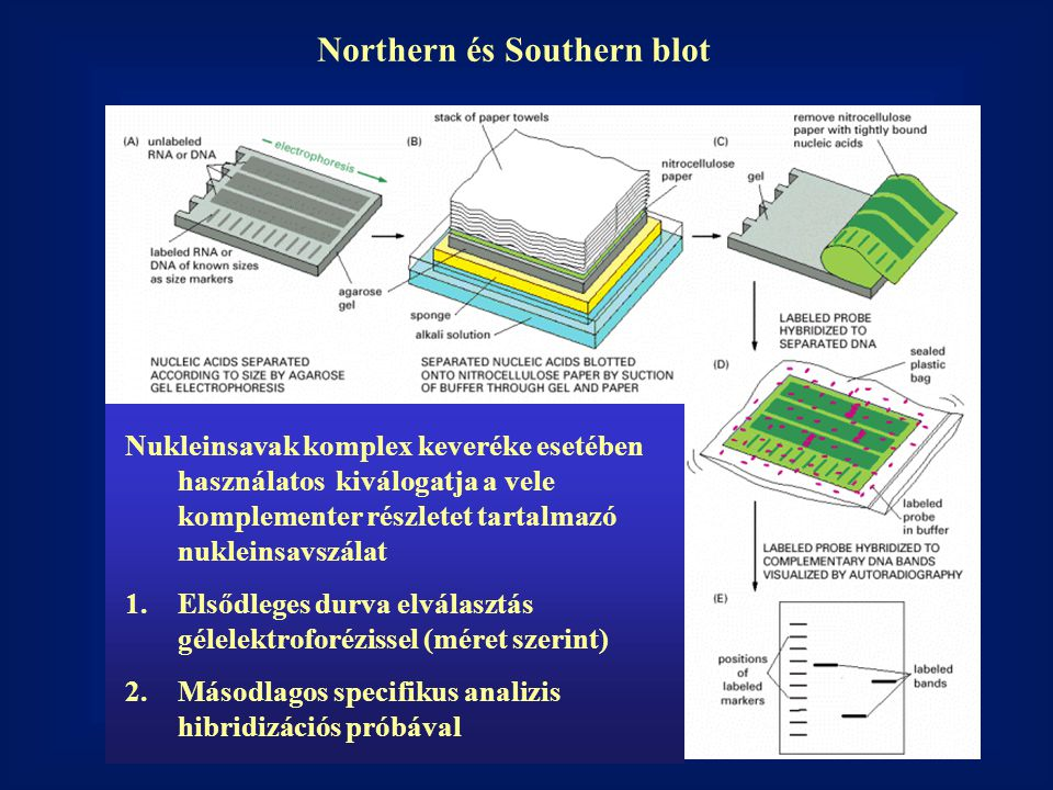 Northern és Southern blot
