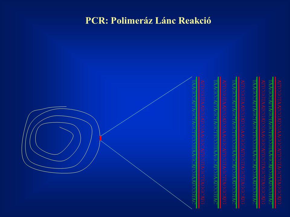 PCR: Polimeráz Lánc Reakció