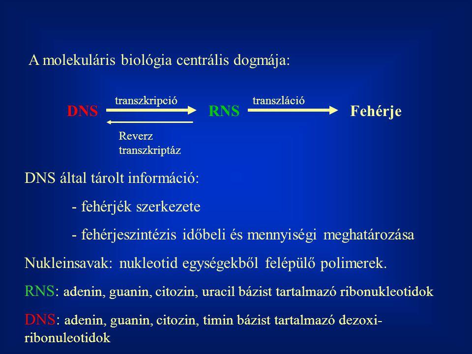 A molekuláris biológia centrális dogmája: