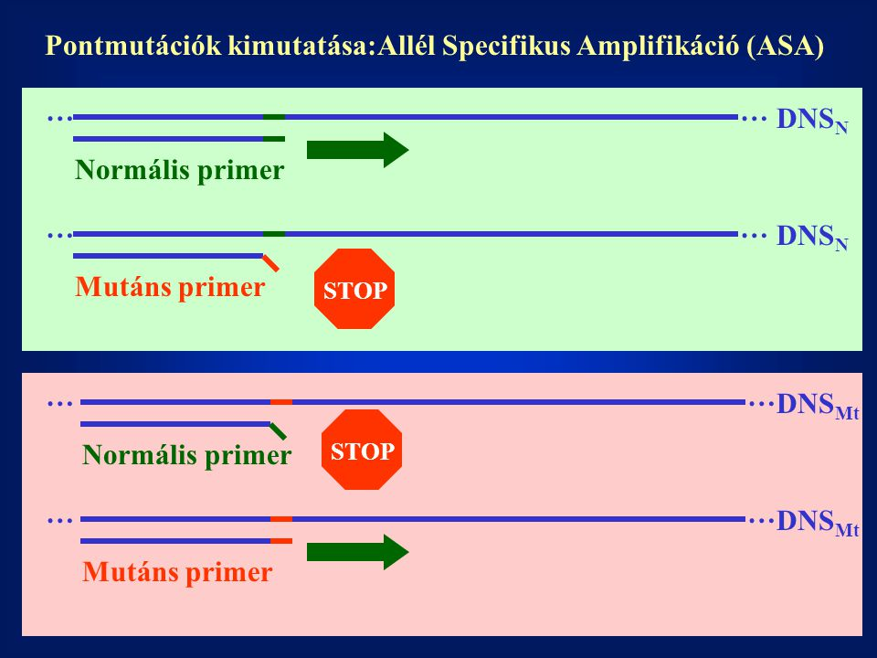 Pontmutációk kimutatása:Allél Specifikus Amplifikáció (ASA)