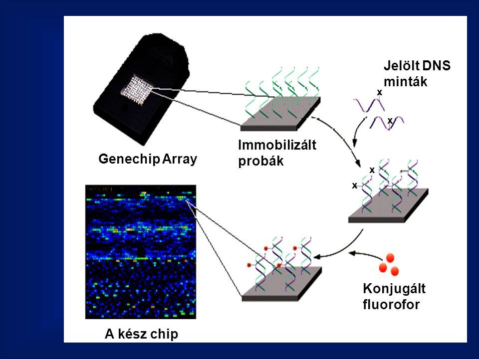 Jelölt DNS minták Immobilizált probák Genechip Array Konjugált