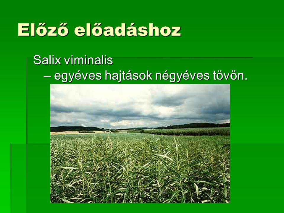 Előző előadáshoz Salix viminalis – egyéves hajtások négyéves tövön.