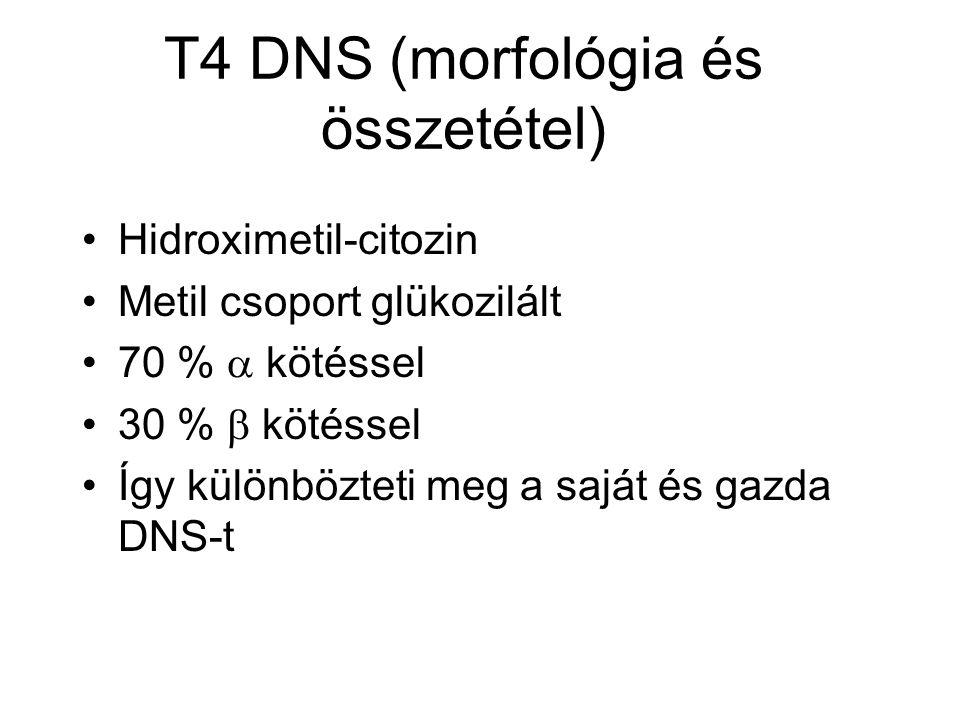 T4 DNS (morfológia és összetétel)