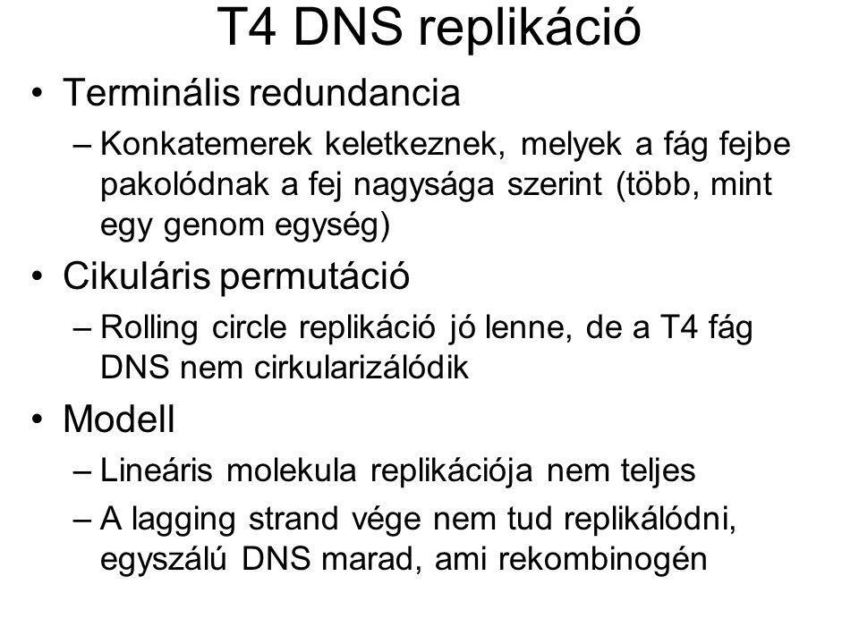 T4 DNS replikáció Terminális redundancia Cikuláris permutáció Modell