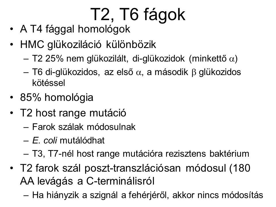 T2, T6 fágok A T4 fággal homológok HMC glükoziláció különbözik