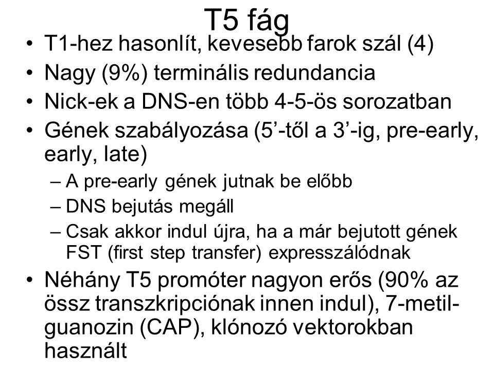 T5 fág T1-hez hasonlít, kevesebb farok szál (4)
