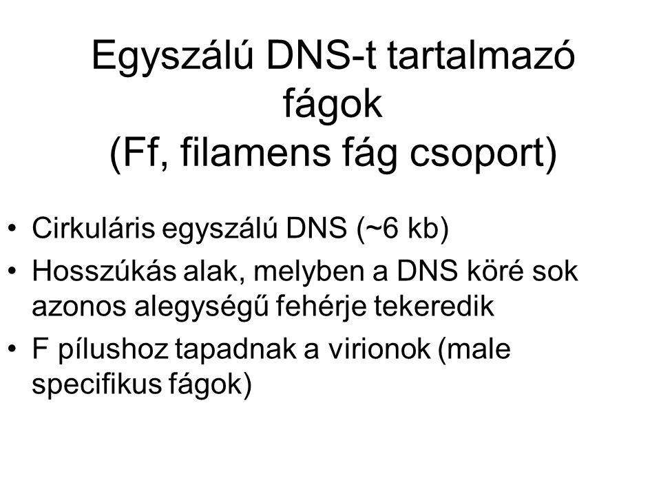 Egyszálú DNS-t tartalmazó fágok (Ff, filamens fág csoport)