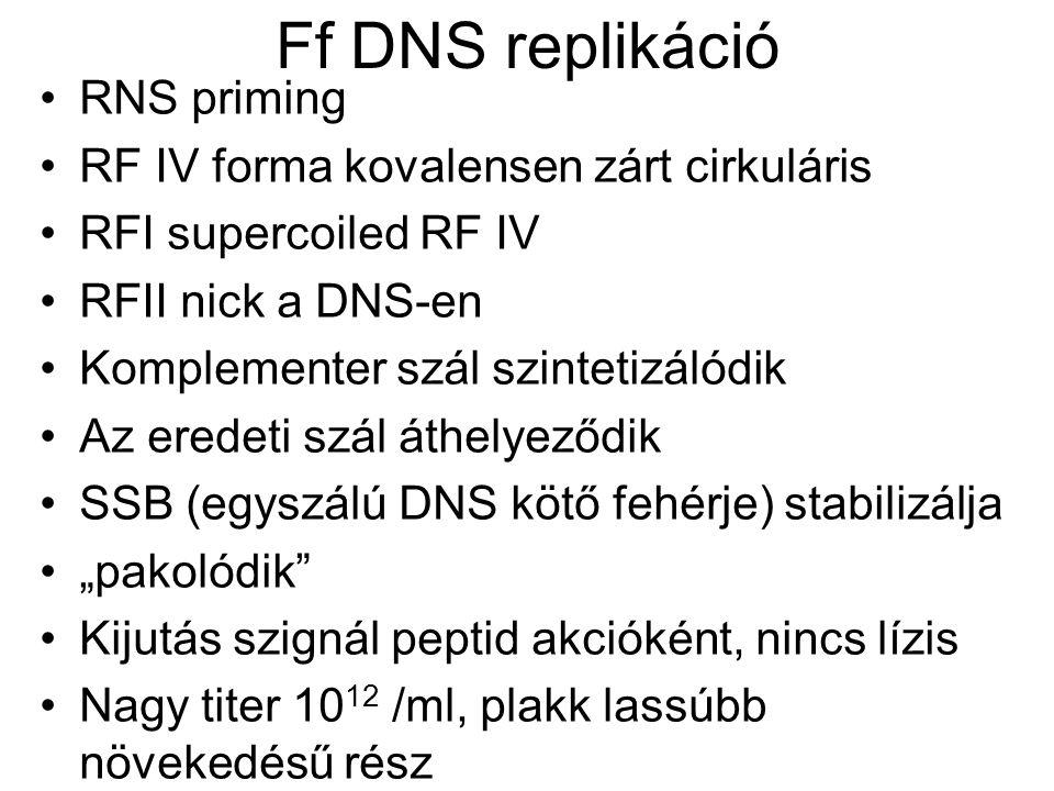 Ff DNS replikáció RNS priming RF IV forma kovalensen zárt cirkuláris