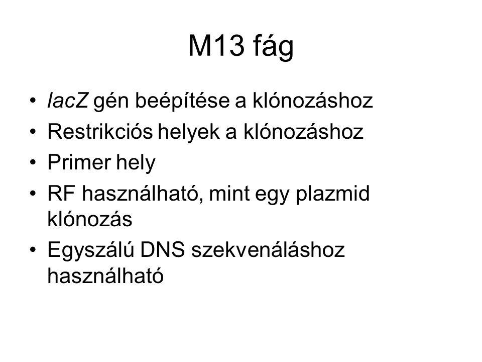 M13 fág lacZ gén beépítése a klónozáshoz