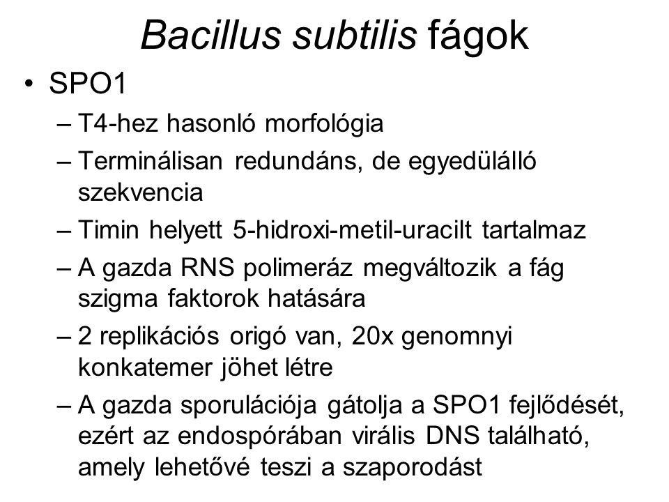 Bacillus subtilis fágok