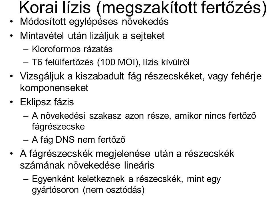 Korai lízis (megszakított fertőzés)