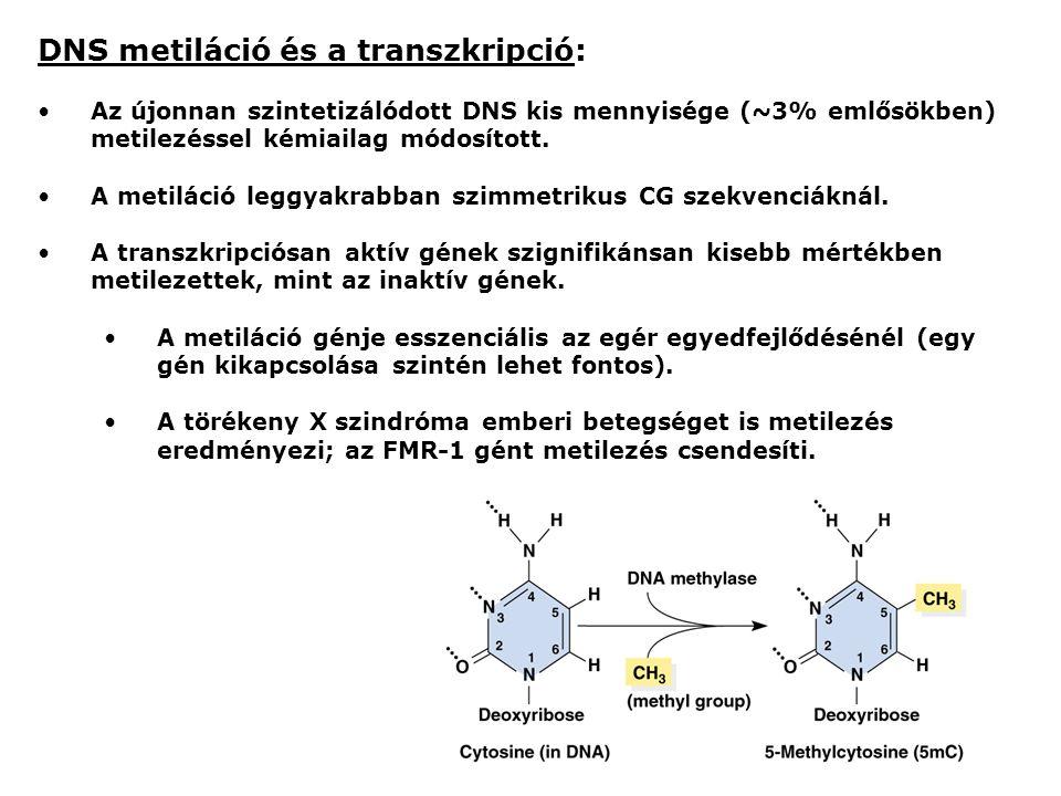 DNS metiláció és a transzkripció: