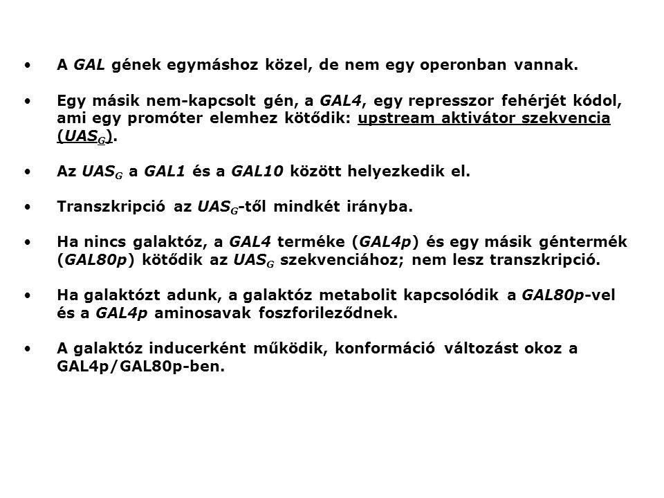 A GAL gének egymáshoz közel, de nem egy operonban vannak.