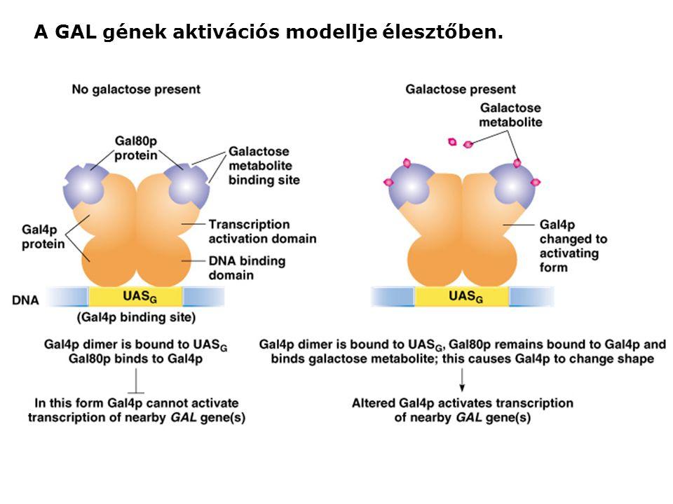 A GAL gének aktivációs modellje élesztőben.