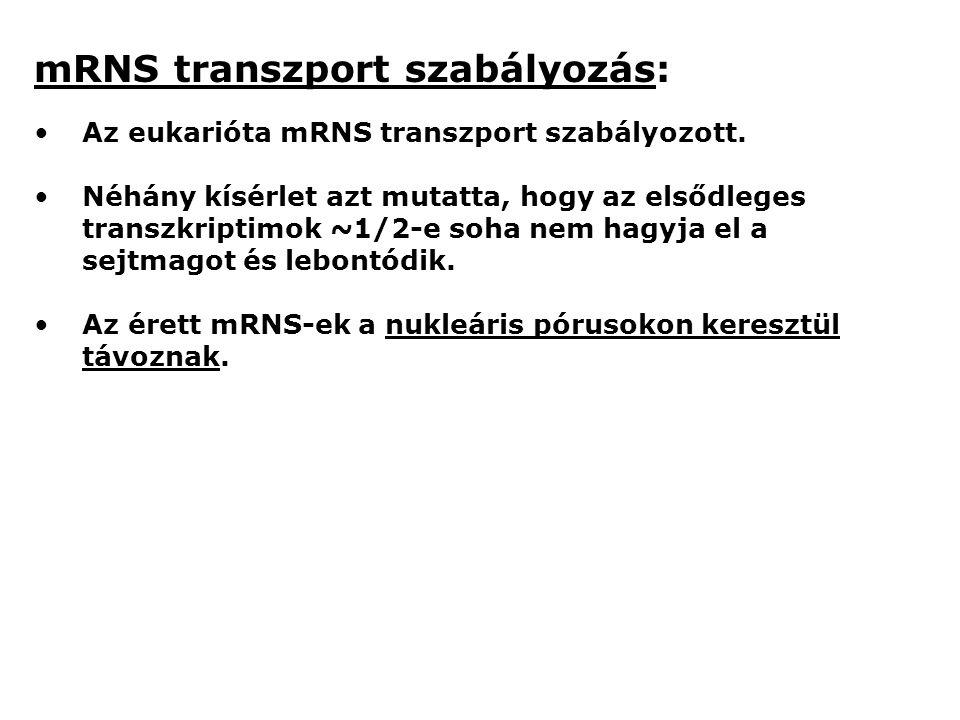 mRNS transzport szabályozás: