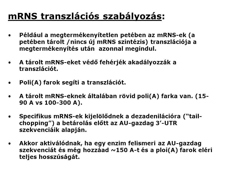 mRNS transzlációs szabályozás:
