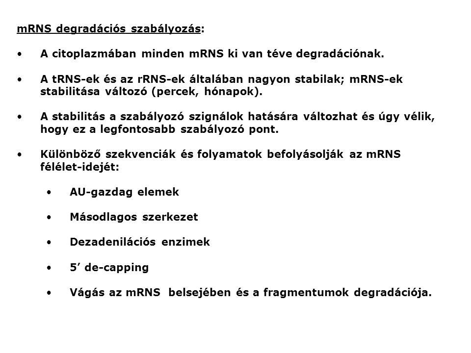 mRNS degradációs szabályozás:
