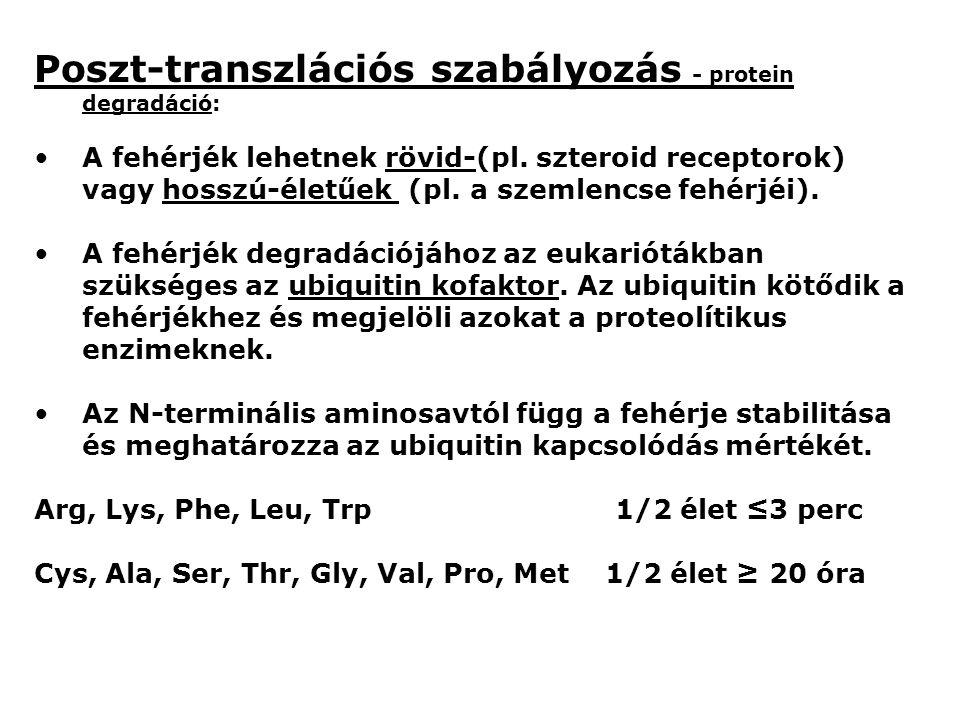 Poszt-transzlációs szabályozás - protein degradáció: