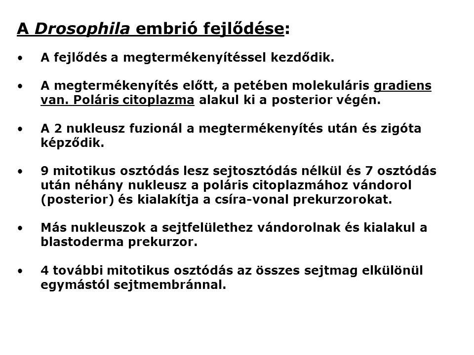 A Drosophila embrió fejlődése:
