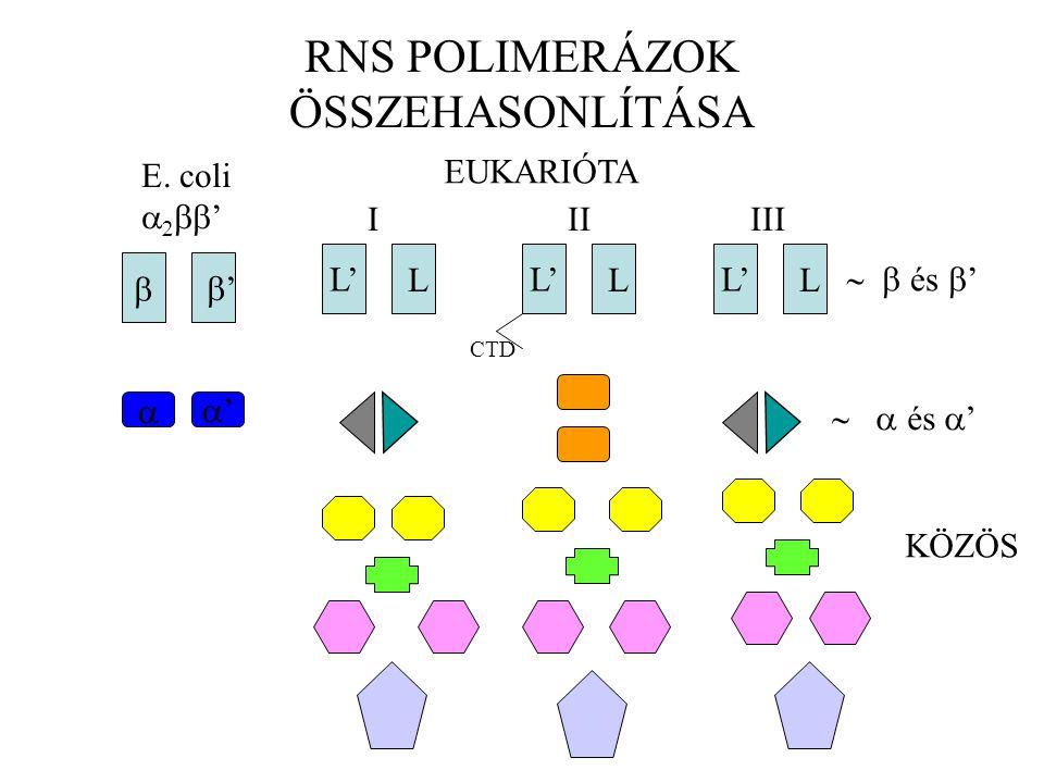 RNS POLIMERÁZOK ÖSSZEHASONLÍTÁSA