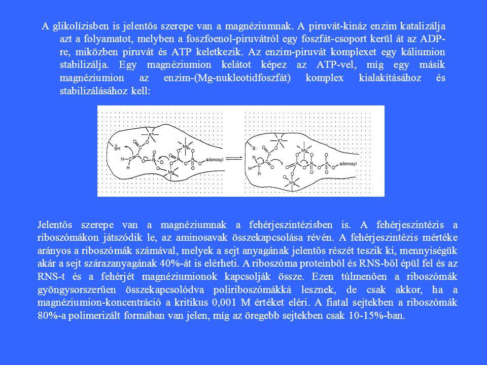 A glikolízisben is jelentôs szerepe van a magnéziumnak