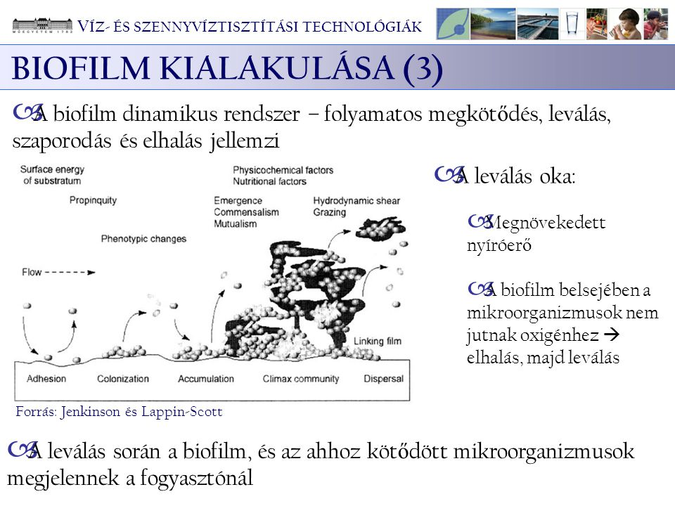 BIOFILM KIALAKULÁSA (3)