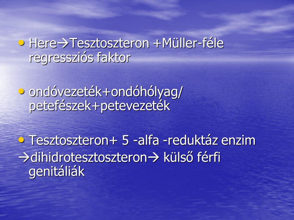 HereTesztoszteron +Müller-féle regressziós faktor