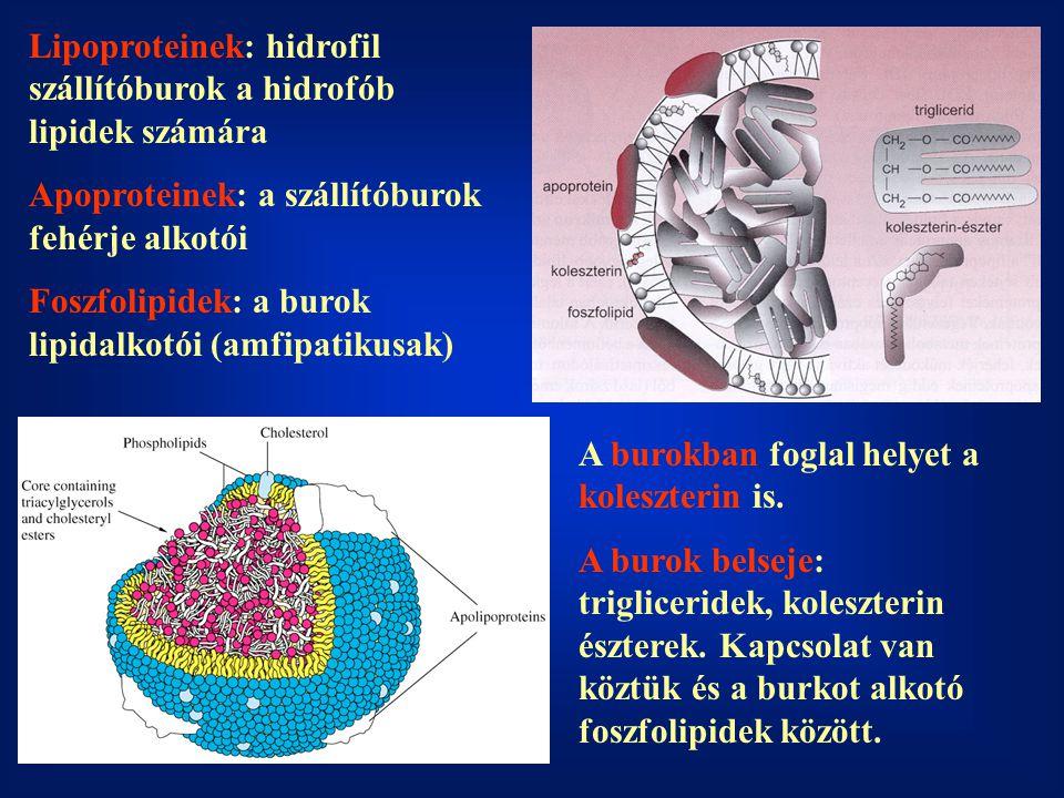Lipoproteinek: hidrofil szállítóburok a hidrofób lipidek számára