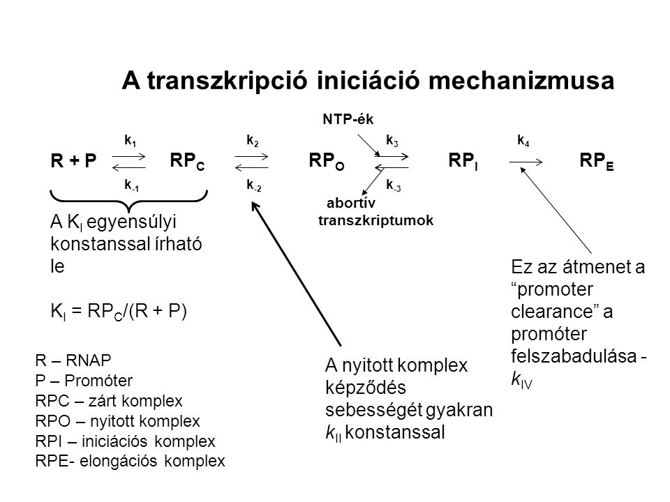 A transzkripció iniciáció mechanizmusa