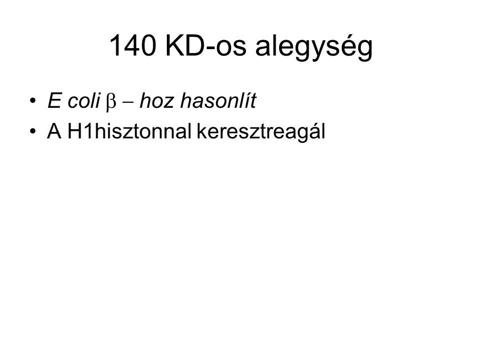 140 KD-os alegység E coli b - hoz hasonlít