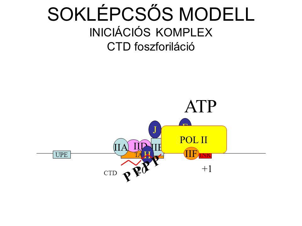 SOKLÉPCSŐS MODELL INICIÁCIÓS KOMPLEX CTD foszforiláció