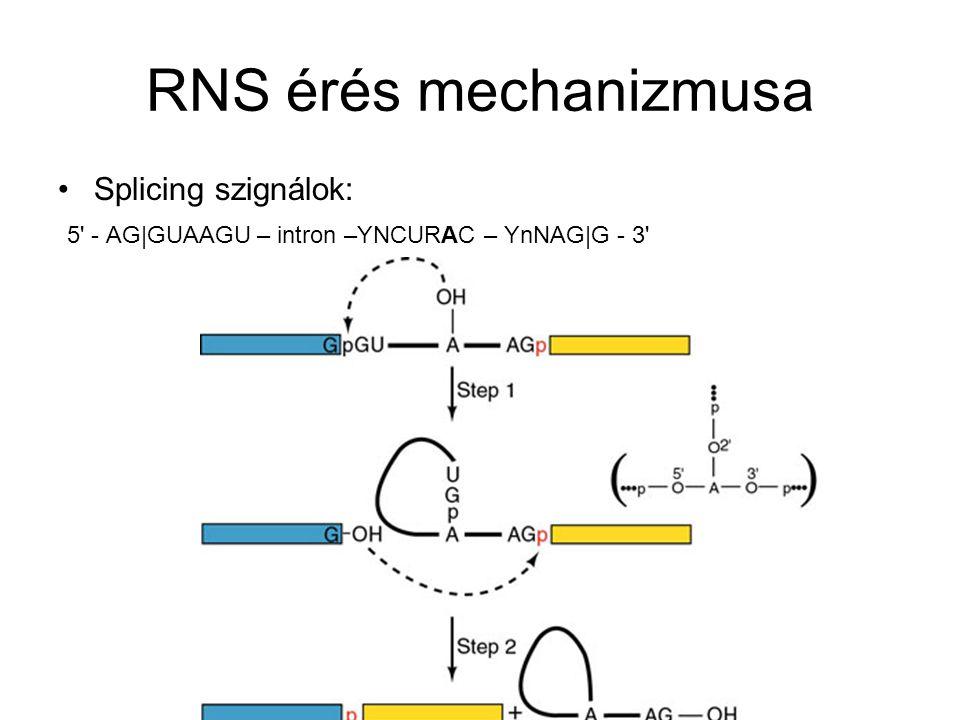 RNS érés mechanizmusa Splicing szignálok:
