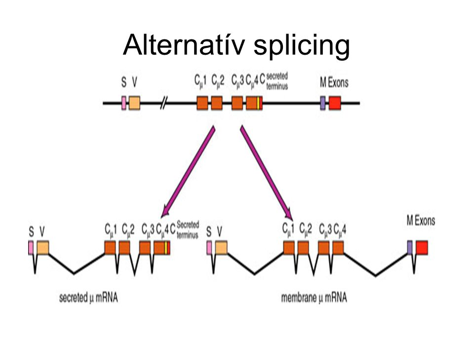 Alternatív splicing