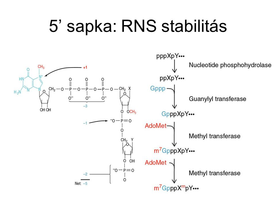 5' sapka: RNS stabilitás