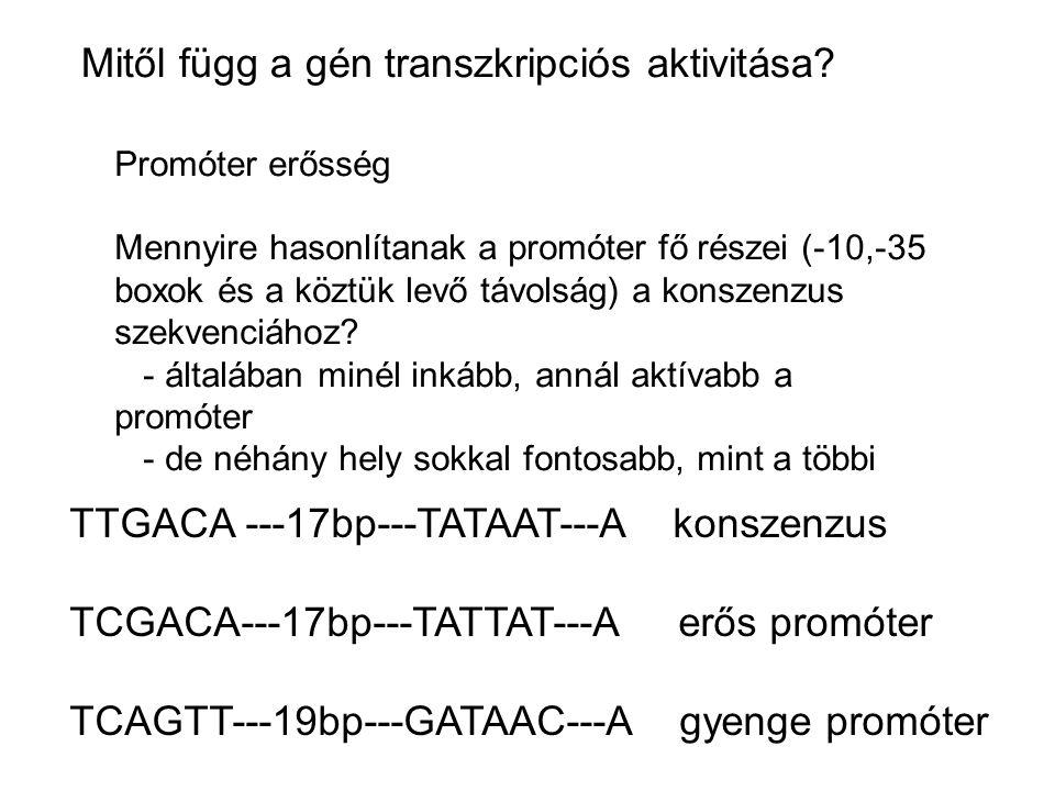 Mitől függ a gén transzkripciós aktivitása